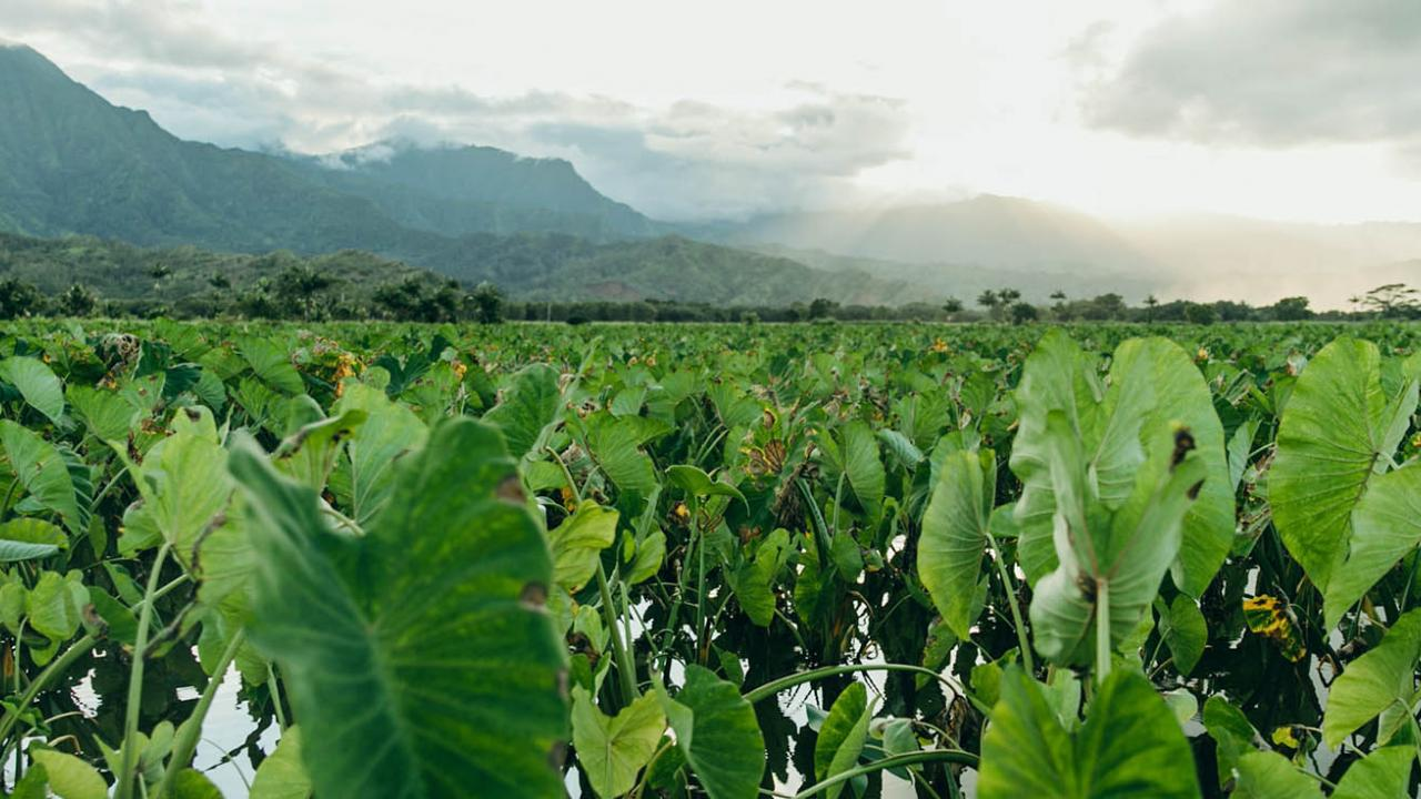 Hawaii Taro Fields